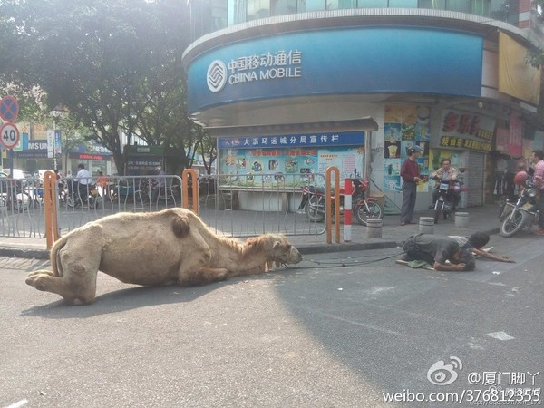 Stop using camels as begging props in China